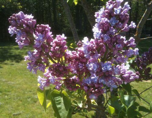 Lilacs may 8 2010